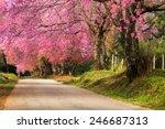 Full Pink Cherry Blossom On...