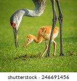 Sandhill Crane Mother Feeding...
