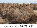 Mass Of Winter Dry Tumbleweeds...