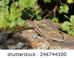 A Common Wall Lizard  Podarcis...