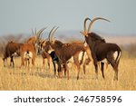 Small Herd Of Sable Antelopes ...
