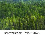 Pine Forest Background In The...