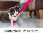 Playful Domestic Shorthair Cat...