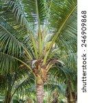 the coconut tree or cocos... | Shutterstock . vector #246909868
