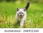 Cute Little Siamese Kitten...