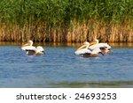 pelicans  pelecanus onocrotalus ... | Shutterstock . vector #24693253