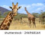 Giraffe In Front Amboseli...