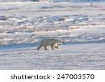 Female Polar Bear Walking...