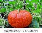 Big Ripe Pumpkin  In The Patch...