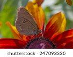 Maculinea Teleius Butterfly ...