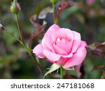 Stock photo pink rose in the garden 247181068
