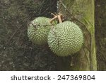 wild durian fruits on a tree in ... | Shutterstock . vector #247369804