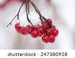 Red Berries In The Snow With...