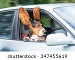 Stock photo funny basset hound with ears up driving in a car 247455619