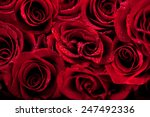 Stock photo beautiful dark red roses 247492336