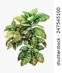 Watercolor Pot Plant  Croton...