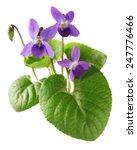 Sweet Violet  Viola Odorata...