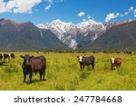 grazing cows with southern alps ... | Shutterstock . vector #247784668