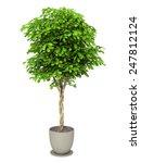 bush plant in pot culture on... | Shutterstock . vector #247812124