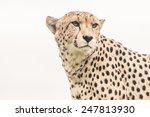 Headshot Of Cheetah Against...