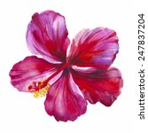 Watercolor Red Hibiscus. Hand...