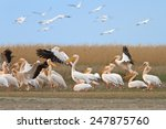 white pelicans in the danube... | Shutterstock . vector #247875760