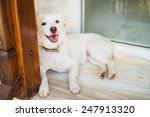 nice white dog by the window | Shutterstock . vector #247913320