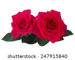 Two Dark Pink Roses Isolated O...