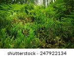 Green Moss In The Summer Fores...