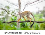 Squirrel Monkey In Natural...