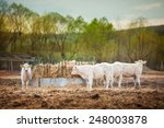 Herd Of Young Calves Eating At...