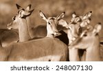 a breeding herd of impala... | Shutterstock . vector #248007130