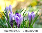Pretty Crocus On Colorful...