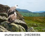 Couple Of Griffon Vulture  Gyp...