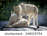Lion Couple Rubbing Each Other...
