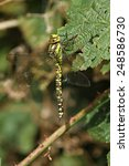 Small photo of Southern Hawker Dragonfly female
