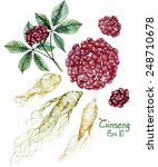 watercolor ginseng root and... | Shutterstock .eps vector #248710678