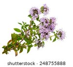 Medicinal Plant  Thyme