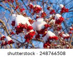 Viburnum Berries In Snow On A...