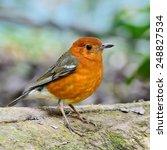beautiful bird  orange headed... | Shutterstock . vector #248827534