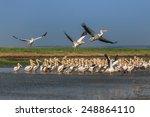 white pelicans  pelecanus... | Shutterstock . vector #248864110