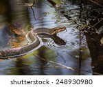 Cottonmouth Snake With Tongue...