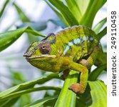 Closeup Of A Chameleon Among...