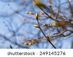 Buds On A Tree At The Spring...