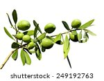 olive branch on an isolated... | Shutterstock . vector #249192763