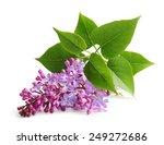 Spring Flower Twig Purple Lilac....