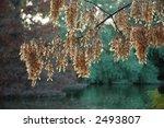 Seed Pods On Box Elder Tree ...
