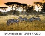 Herd Of Zebras On The African...