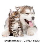 Stock photo alaskan malamute puppy hugging maine coon kitten isolated on white background 249645520