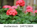 Red Geraniums And Blurred...